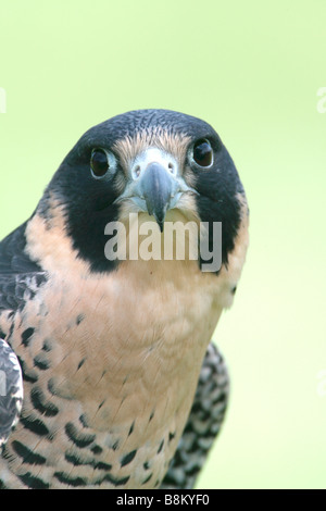 Peregrine Falcon captive - Vertical - Stock Photo