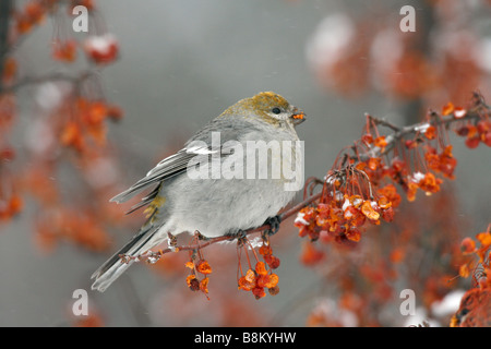 Female Pine Grosbeak Eating Crabapple Berries in Snow - Stock Photo