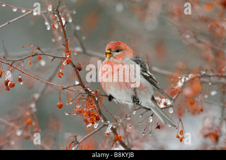Pine Grosbeak Eating Crabapple Berries in Ice - Stock Photo