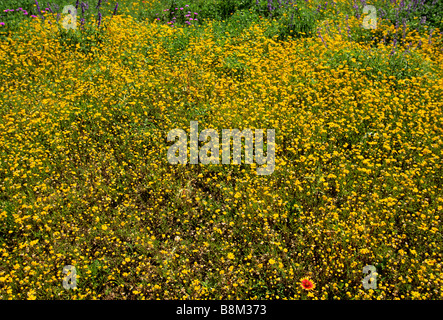USA Field of Yellow Wildflowers in Bloom and One Indian Blanket Flower - Stock Photo