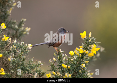 Dartford Warbler on gorse in the new forest - Stock Photo