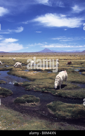 Llamas (Lama glama) grazing on bofedales by River Isluga, Cariquima volcano in background, Isluga National Park, - Stock Photo