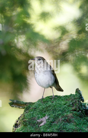 Veery Perched on Moss Covered Log - Vertical - Stock Photo