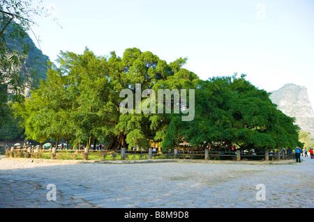 China Guangxi Province Guilin Yangshuo banyan Tree - Stock Photo