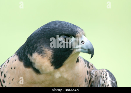 Peregrine Falcon captive - Stock Photo
