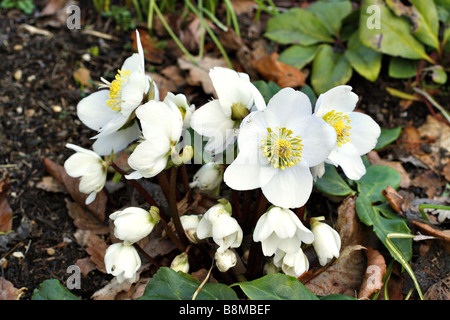 HELLEBORUS NIGER WHITE CHRISTMAS AT RHS HARLOW CARR - Stock Photo