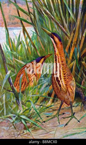 Eurasian Bittern, Great Bittern (Botaurus stellaris) - Stock Photo