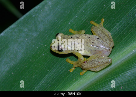 Spotted Madagascar Reed Frog (Heterixalus punctatus) on a pandanus leaf in Analamazoatra Special Reserve, Madagascar. - Stock Photo