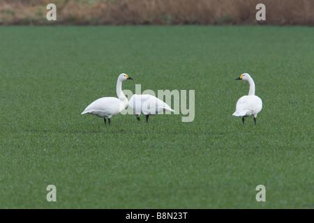 Bewick's Swan Cygnus columbianus bewickii a group of three adults feeding on a field of winter wheat - Stock Photo