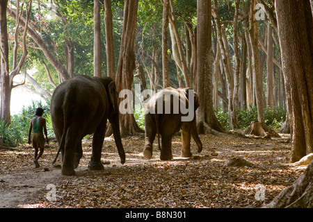 India Andaman and Nicobar Havelock island mahout walking two elephants on forest path - Stock Photo