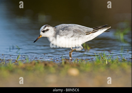 Grey Phalarope Phalaropus fulicarius Winterton Norfolk January - Stock Photo