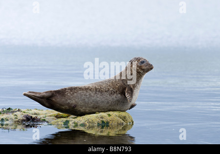 Common Seal Phoca vitulina Lerwick Shetland June - Stock Photo