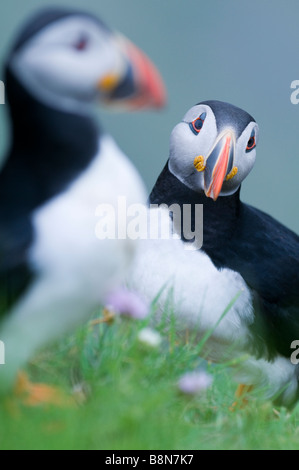 Puffin Fratercula arctica Sumburgh Head Shetland June - Stock Photo