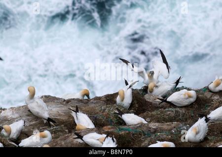 Gannet Sula bassana colony on cliff Hermaness Shetland June - Stock Photo