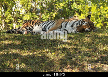 Amour or Siberian tiger sleeping in shade.