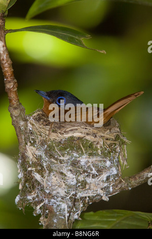 Madagascar Paradise Flycatcher Nosy Mangabe - Stock Photo