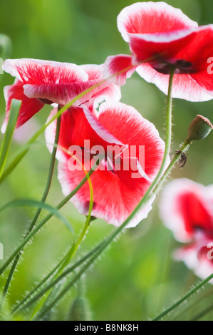 A Group Of Red And White Shirley Poppies Growing Among Grass - Stock Photo
