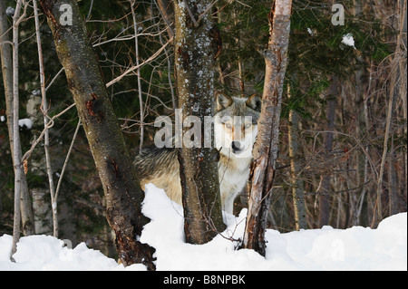 Grey Wolf in winter looks through triple tree trunks - Stock Photo