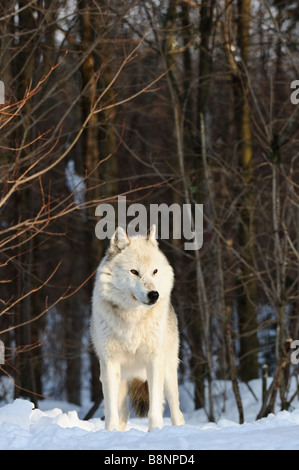 White phase Alpha Male Grey (Gray) Wolf (Eastern Timberwolf) in early morning light overlooks rest of pack - Stock Photo