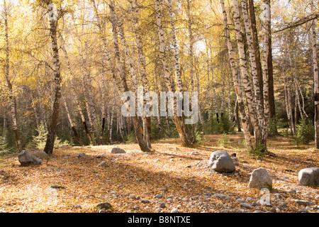Dense forest beside Kanas Lake, Kanas Conservation, Xinjiang Uyghur Autonomous Region, China - Stock Photo