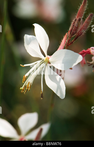 Whirling Butterflies (Gaura lindheimeri) - Stock Photo
