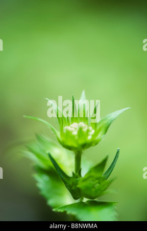 Scabiosa flower bud and sepals - Stock Photo