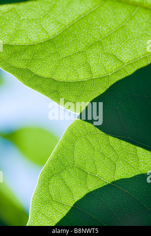 Sunlight shining through leaves, extreme close-up - Stock Photo