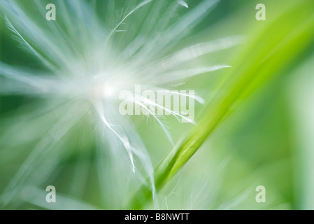 Dandelion seed, extreme close-up - Stock Photo