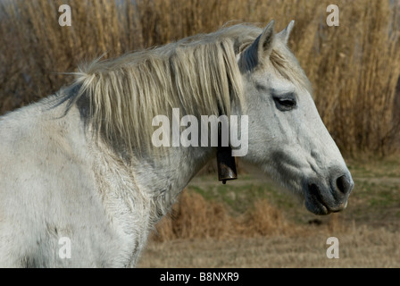 Wild horse in the Camargue - Stock Photo