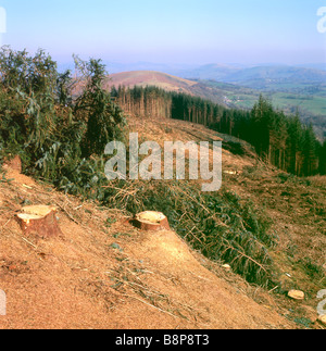 Forestry site landscape after a forest of conifer trees have been cut down and cleared in Carmarthenshire Wales - Stock Photo
