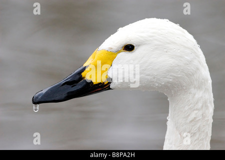 Portrait of a Bewick's Swan head and bill with a droplet of water. - Stock Photo
