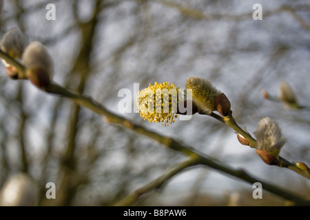 Group of catkins in different stages of growth or development on one branch in a woodland setting. - Stock Photo