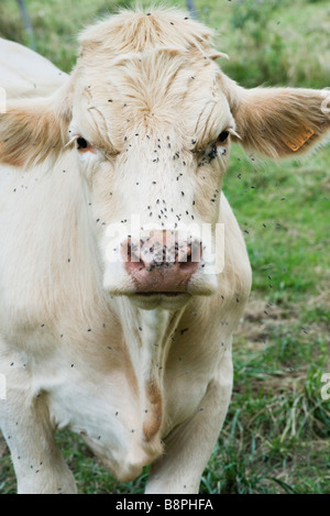 Cow covered by swarm of flies - Stock Photo