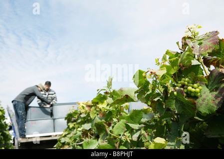 France, Champagne-Ardenne, Aube, workers harvesting grapes in vineyard - Stock Photo