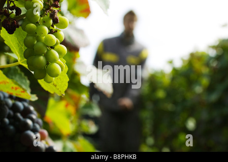 France, Champagne-Ardenne, Aube, grapes growing on vine, close-up - Stock Photo