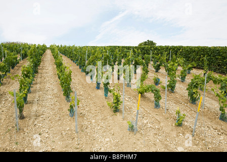 France, Champagne-Ardenne, Aube, young grapevines in vineyard - Stock Photo