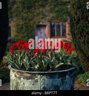Red tulips growing in a huge copper tub at Sissinghurst - Stock Photo