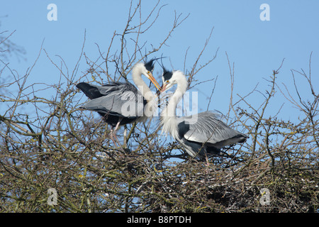 Grey Heron, Ardea cinerea on nest displaying - Stock Photo