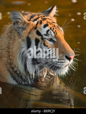 Siberian tiger relaxing in a shallow pond - Stock Photo