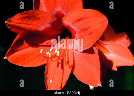 An amaryllis flower - Stock Photo