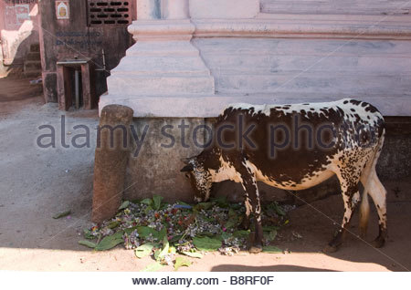 Brown and white cow investigating foliage in front of a public drinking water fountain in Gokarna - Stock Photo