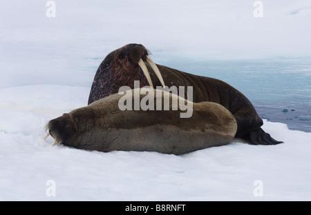walrus (Odobenus rosmarus), two males resting on ice floe, Norway - Stock Photo