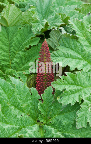 Chilean Rhubarb, or Nalca (Gunnera tinctoria) Chiloe Island CHILE