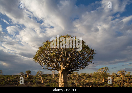 Africa Namibia Keetmanshoop Quiver Tree Aloe dichotoma in Kokerboomwoud Quiver Tree Forest - Stock Photo