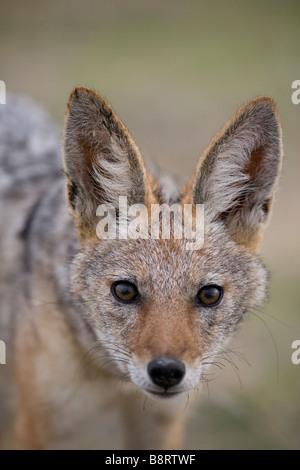 Africa Namibia Etosha National Park Portrait of Black Backed Jackal Canis mesomelas - Stock Photo