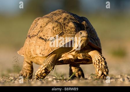 South Africa Kgalagadi Transfrontier Park Leopard Tortoise Geochelone pardalis walking in Kalahari Desert at sunset - Stock Photo
