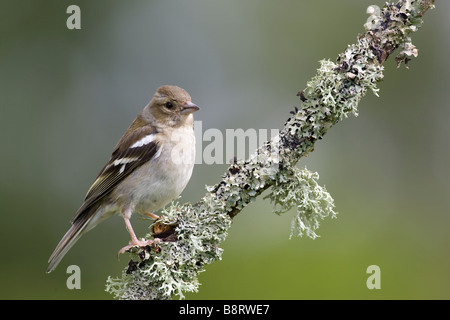 Female Chaffinch - Stock Photo