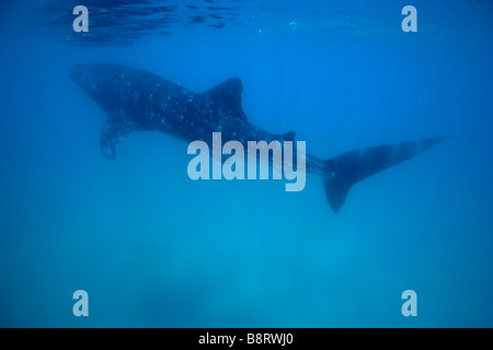 Africa Mozambique Guinjata Bay Jangamo Beach Underwater view of Whale Shark Rhincodon typus swimming at Manta Reef - Stock Photo