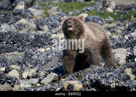 USA Alaska Glacier Bay National Park Brown Grizzly Bear sow and cub Ursus arctos digging under rocks while feeding on mussels