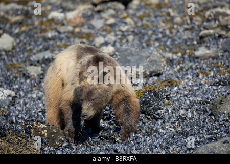 USA Alaska Glacier Bay National Park Brown Grizzly Bear Ursus arctos feeding on mussels at low tide along Russell Inlet